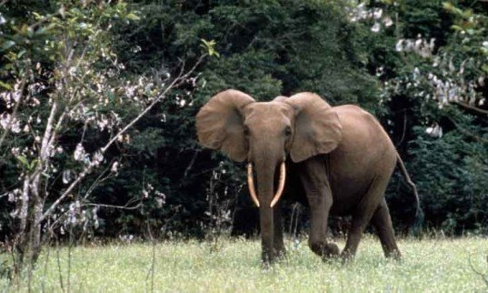 african forest elephant, central africa, endangered species, conservation