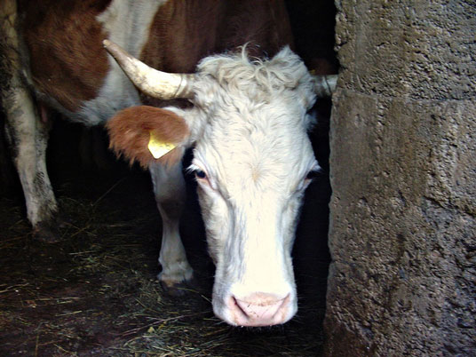 Rancher Vows to Protect Hundreds of Fukushima Cows from Government Kill Order