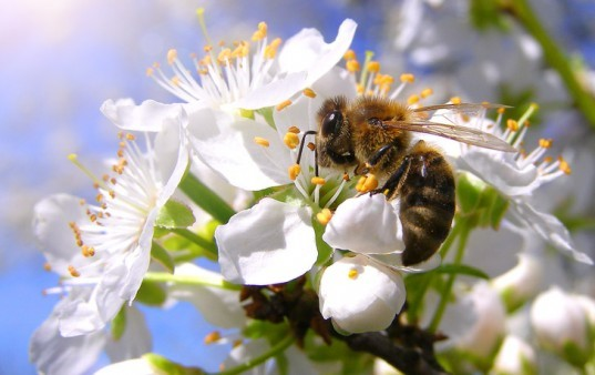 honeybees, bees, bee deaths, colony collapse disorder, biofuels, united kingdom, uk, insecticides, pesticides, pollinators, wild pollinators, food crops