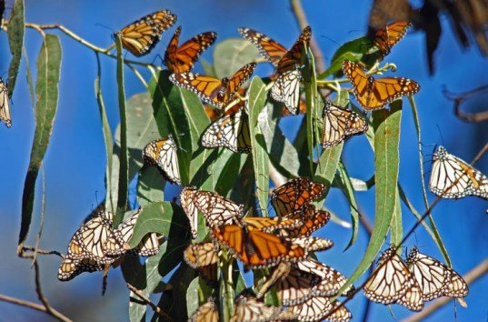 monarch butterflies, monarch migration, gmo crops, roundup ready crops, monsanto, gmo corn, gmo soy, extreme weather, heat waves, Mexico, United States
