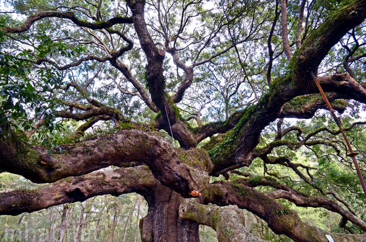 Incredible 1 400 Year Old Angel Oak Tree Is The Oldest