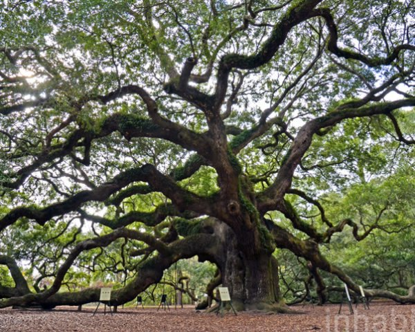 oldest tree east of Mississippi, oldest oak tree, angel oak tree, live oak society, old trees, oldest trees in america, southern live oak tree, charleston, south carolina oak tree, huge oak tree, massive oak tree, photos of old oak tree, 1,400 year old oak, eco-tourism, eco-travel,