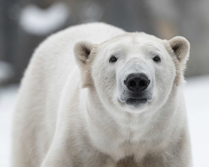 Google Street View Maps Out the Polar Bear Capital of the World and on map of polar bear range, map of canada polar bear, where does a polar bear live, maps where brown bears live, spectacled bears live, where do polar bears live, where does the polar bear live, map of where kodiak bears live, polar bear camera live, where do squids live, how long can polar bears live, where does an aardvark live, map of polar bear habitat, map of younger dryas, how long do bears live, a map of where bears live, wear do polar bears live, description of where polar bears live, diagram of where polar bears live, map where black bears live,