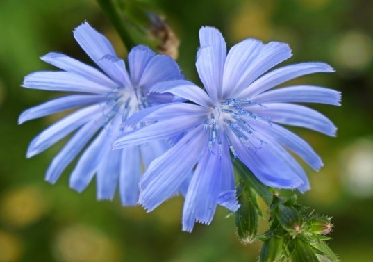 Perennial vegetables, perennial, vegetable gardening, garden, chicory, bachelor's buttons