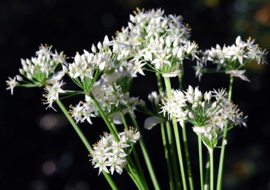 Perennial vegetables, perennial, vegetable gardening, garden, garlic chives