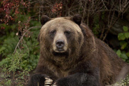 clayton stoner, grizzly bear, black bear, british columbia, bear hunting, bear trophies, trophy hunting, hunting, conservation