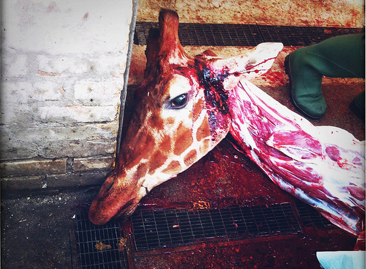 Another Giraffe Named Marius At Risk Of Being Put Down By