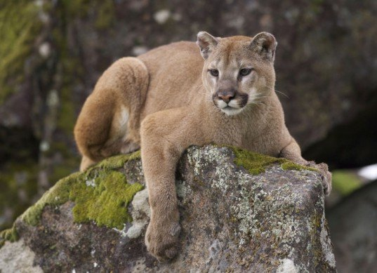 big game hunting, cougars, hunting for sport, sport hunting, journalism, mountain lions, photos with dead animals, sport hunting, daily mail, uk journalism, washington state