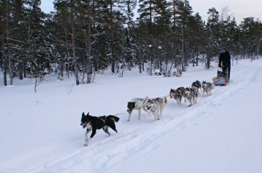 dogs, sled dogs, dog sledding, norway, Kirkenes Snowhotel, kirkenes, alaskan huskies, dog sled taxi, airport dogsled, arctic vacations