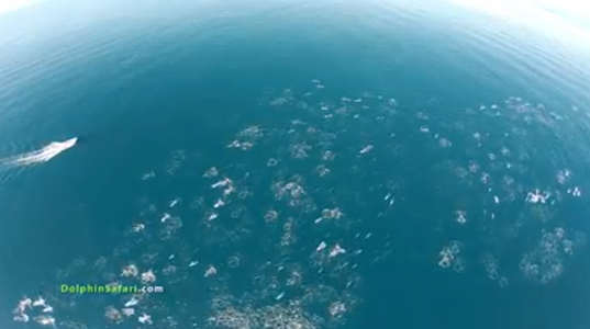 dolphin stampede, dolphin megapod, whale watches, drones with cameras, non-military drone uses, aerial footage of dolphins, Captain Dave, migrating dolphins