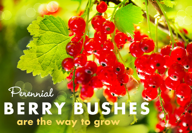 For Perennial Fruit Gardens, Berries Are the Way to Grow | Inhabitat on designing a shrub garden, designing a woodland garden, designing a drought tolerant garden, designing a water garden, designing a japanese garden, designing a terrace garden, designing a shade garden, designing a lily garden, designing a wildlife garden, designing a vegetable garden, designing a herb garden, designing a pollinator garden, designing a fairy garden, designing a butterfly garden, designing a fruit garden, designing a cactus garden, designing a flower garden, designing a container garden, designing a fern garden, designing a succulent garden,