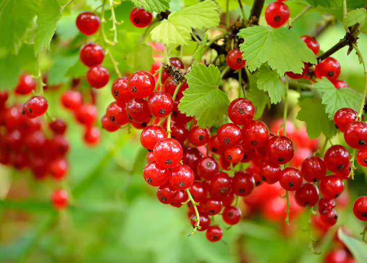 For Perennial Fruit Gardens Berries Are The Way To Grow