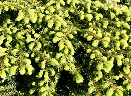 Spruce, spruce recipes, spruce tips, spruce branches