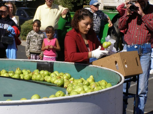 fresh pears, wrapped pears, pears wrapped in tissue, pears wrapped in paper, toxic chemicals, chemical preservatives, organic pears, local food, fresh produce, reducing food waste