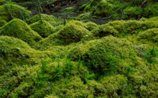 British Antarctic Survey, the University of Reading, Berkshire, U.K, unfrozen moss, revived moss, ancient moss, Signy, Antarctic Peninsula, science experiments with moss, plant life, botanical science, Cape Horn,