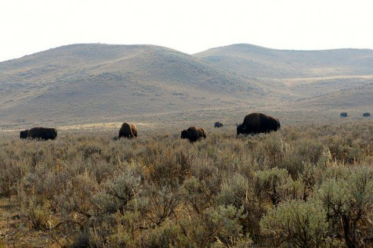 Native American Nez Perce tribe, Native American Idaho tribe, Native American, Nex Perce, Bison, Bison Hunting, Yellowstone National Park, Yellowstone Bison,