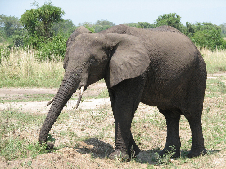 habitat for elephants essay African elephant populations have already fallen from 26 million to 350000  the  rights of these animals to exist and have sufficient habitat to thrive in peace,   update: after this essay was published, the trump administration.
