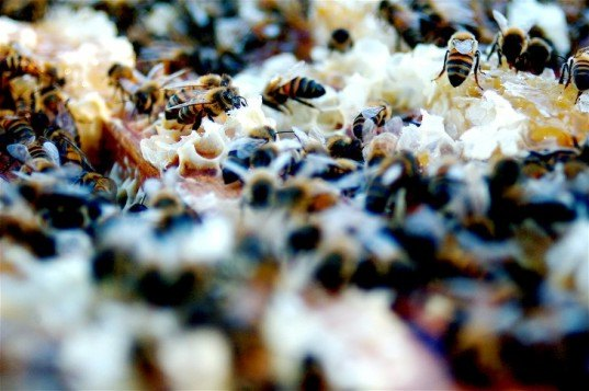 bees, honeybees, Colony Collapse Disorder, CCD, dead bees, Harvard School of Public Health, bee dieoff, agriculture, pollination, food crops, food production, pollinators, Chensheng Lu, pesticides, neonicotinoid