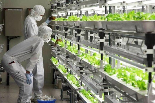 Fujitsu Home & Office Services Limited, low-potassium lettuce, Futuristic Lettuce Farm, kid-friendly vegetables, Fukushima Prefecture, the futuristic Aizu-Wakamatsu Akisai Vegetable Plant, vegetable-farm, organic vegetables, agriculture, medicinal food, Botanical, Gardening, green gadgets,