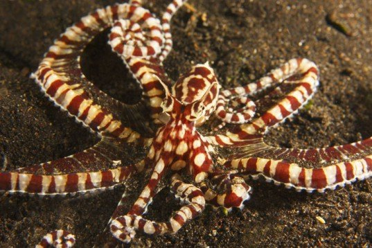 Octopus, octopuses, octopi, squid, squids, cephalopods, pyjama squid, mimic, mimic octopus, camouflage, touchscreen, touch screen, Kindle, invisibility cloak