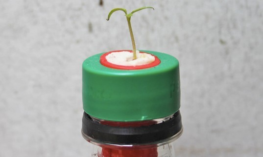 Petomato, seed filled caps, gardening, home gardening, growing tomatoes indoors, recycle plastic water bottles,