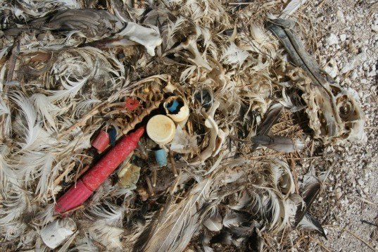 plastic, garbage, beach, trash, wildlife, albatross, chick