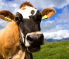New Feed Supplement Reduces Burping Cows' Methane Production by 60 Percent
