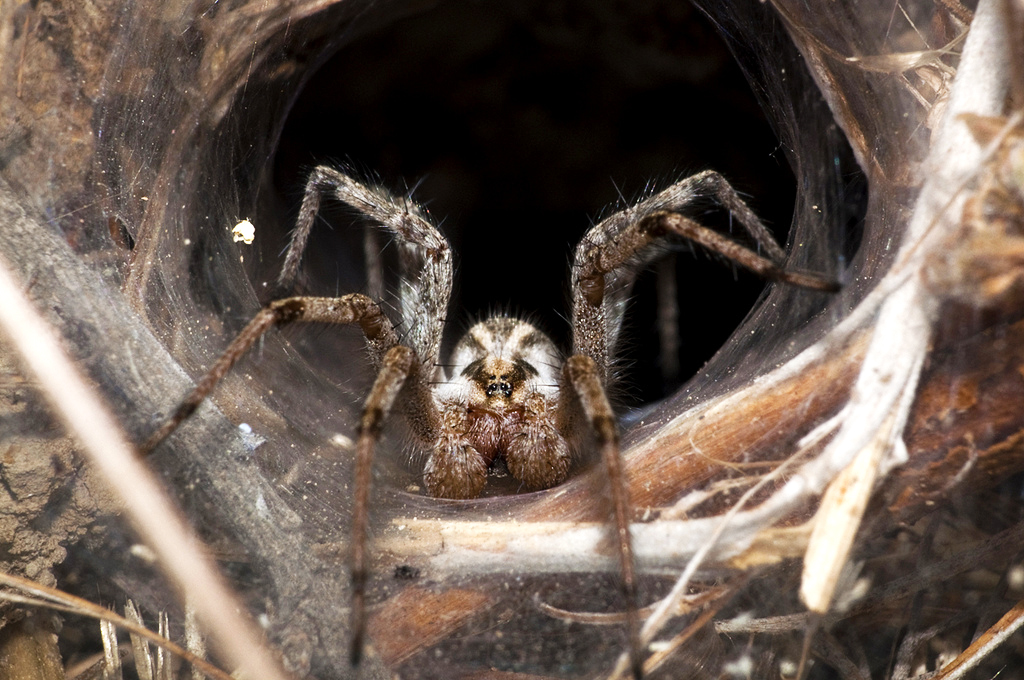 How the Deadly Funnel Web Spider Could Help Save the Bees