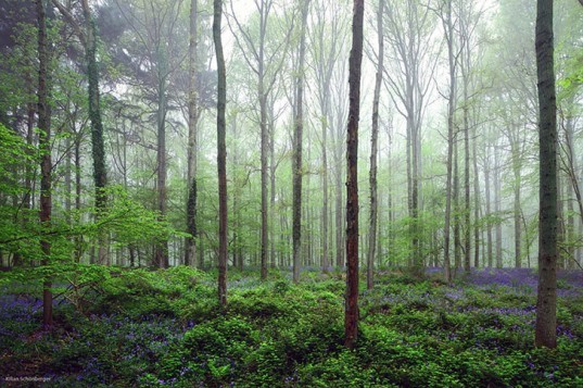 Breathtaking Images of Belgium's Mythical Hallebros Forest Covered in Bluebells
