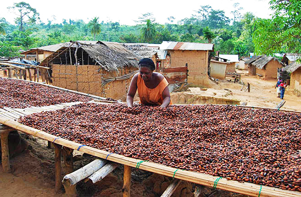 Low global cocoa prices crippling Ghana - AFRICA CHINA ECONOMY |Coco Africa