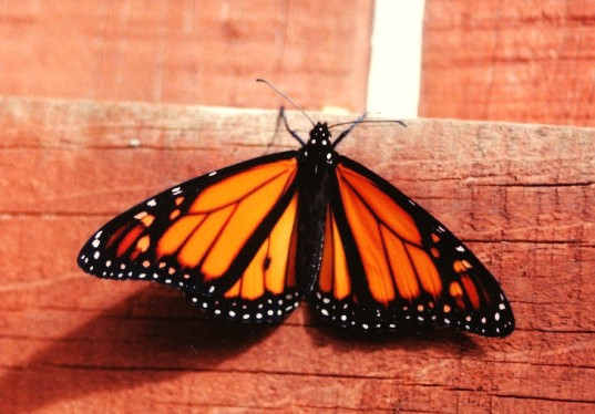Monarch butterfly endangered petition