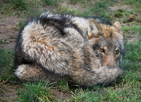 wolf, grey wolf, Discovery, Discovery Channel Canada, red wolf, Man-eating Super Wolves, apex predators, hunting, documentary, animal culls, campaign, petition