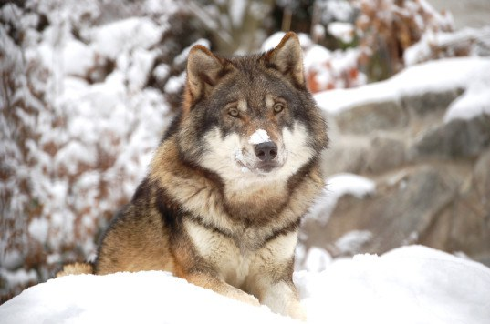 Help Stop The Killing Of Wolves Boycott Discovery Channel