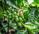 Scientists Just Mapped the Coffee Genome – Is GMO Decaf On the Way?