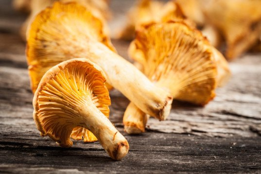 forage, wild mushrooms, hunt for mushrooms, chanterelle mushrooms, golden chanterelle, DIY, chanterelle mushroom recipe, forage in the forest, how to find chanterelles, how to cook chanterelles, chanterelle video, video, DIY video, harvest mushrooms, mycology, hiking, eco-travel, Tafline Laylin