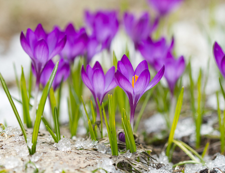 Inexpensive crocus bulbs do well in any climate, and are the first to appear in springtime. They come in dozens of different hues, and self-propagate easily.