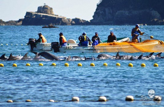 Taiji, taiji cove, Taiji slaughter, taiji slaughter, whales, whale, pilot whale, dolphin, dolphins, taiji whale slaughter, taiji dolphin slaughter, cetaceans, cetacean, baby whale, baby dolphin, stabbing, whale murder, livestream, Sea Shepherd, sea shepherd