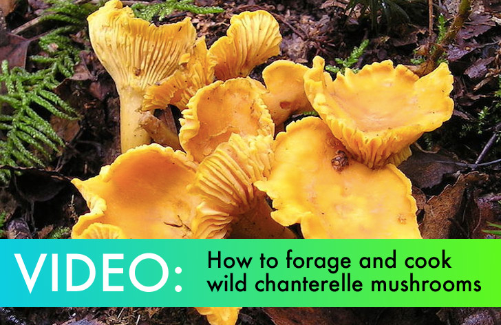 VIDEO: How to Find and Cook Delicious Chanterelle ...