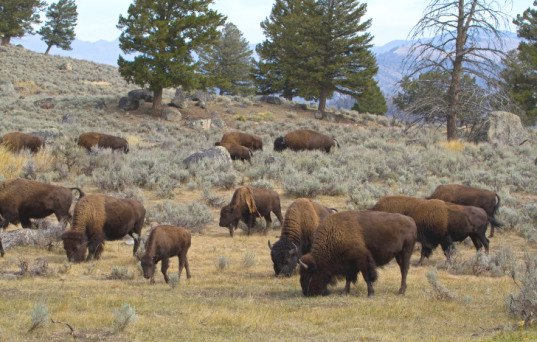 yellowstone bison cull