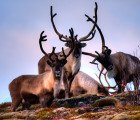 Extremely High Numbers of Radioactive Reindeer Appear in Norway