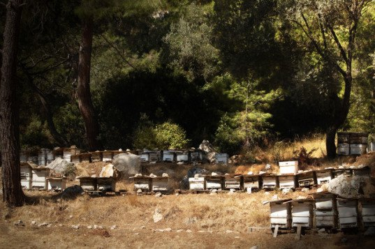 bees, honey bees, bee theft, hive theft, black market, yolo valley, california central valley, bee hive theft