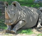 Kenya's Northern White Rhino Faces Imminent Extinction After One of Two Remaining Males Dies