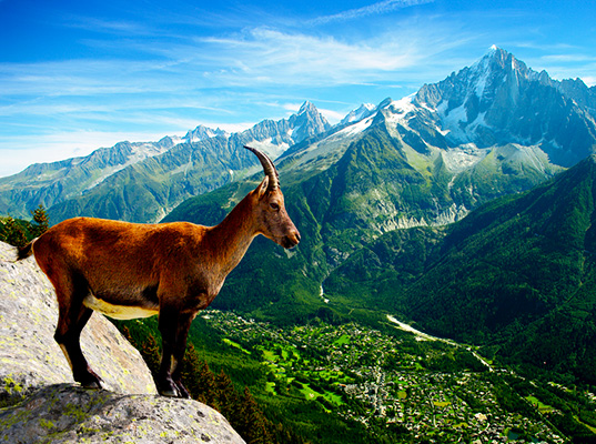 Climate Change is Shrinking Alpine Goats