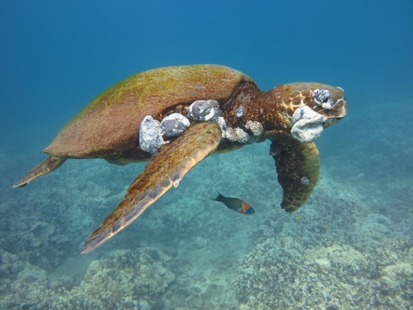 How Humans Are Causing Lethal Tumors on Endangered Sea Turtles