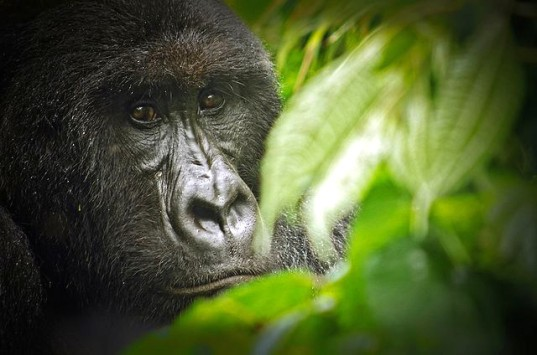 Virunga, Virunga National Park, UNESCO, World Heritage Site, Africa, oil exploration, corruption, intimidation, Sir David Attenborough, documentary, gorillas, conservation, habitat destruction, elephants, Democratic Republic of Congo, mining, resource extraction, Leonardo DiCaprio