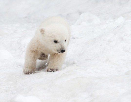 Polar Bear Cub Little