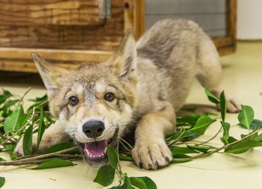Wolf Pup Shadow at San Diego Zoo