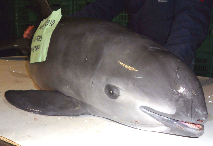 World S Rarest Cetacean Could Be Extinct By 2018 Due To
