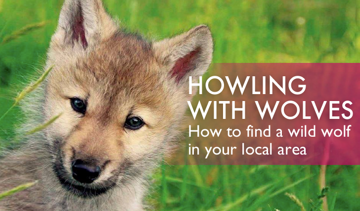 how to find a wolf sanctuary near you and meet some wild wolves