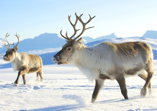 reindeer, caribou, Christmas, endangered animals, animals, hunting, poaching, population decline, climate change, ecosystems, China, Chinese, research, conservation, breeding